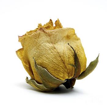 BERNARD JAUBERT - Wilted rose