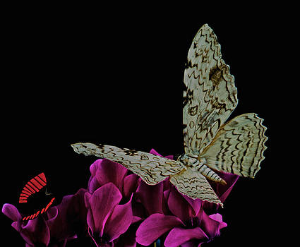 Witch Moth and butterfly meet at midnight by Leslie Crotty