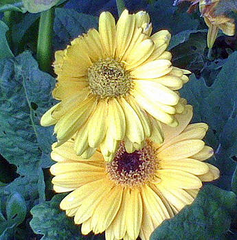 2 Yellow Daisies by Shan Ungar