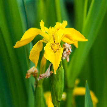 Matt Dobson - Yellow Flag Iris