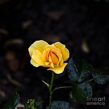 Pravine Chester - Yellow Rose