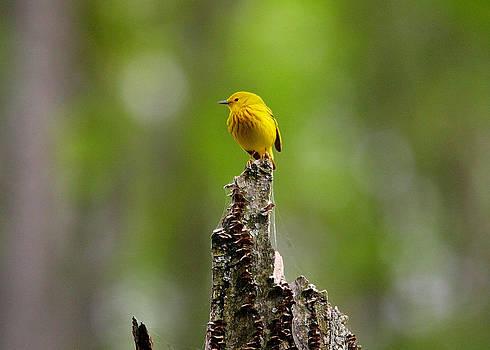 Dawn J Benko - Yellow Warbler