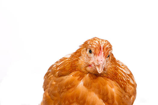 Fizzy Image - young pullet looking ahead at an angle