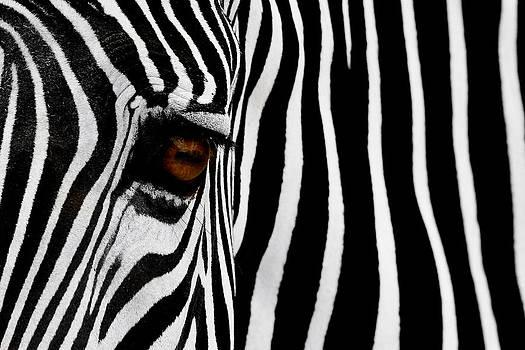 Zebra  by Thanh Nguyen