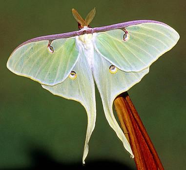 Luna Moth by Millard H. Sharp