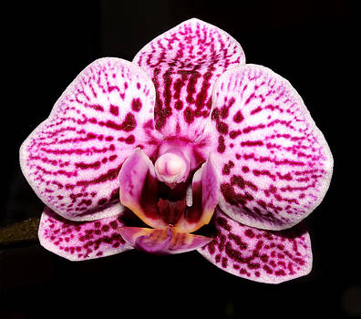 2014 Orchid by Robert Morin