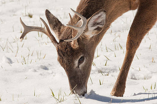 Whitetail Winter by Doug McPherson