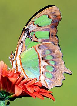 Malachite Butterfly Siproeta Stelenes by Millard H. Sharp