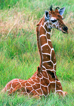 Reticulated Giraffe by Millard H. Sharp