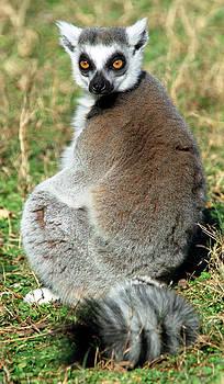 Ring-tailed Lemur Lemur Catta by Millard H. Sharp