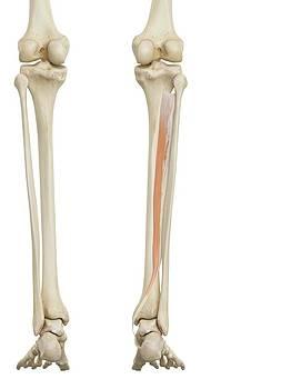 Human Leg Anatomy by Sciepro