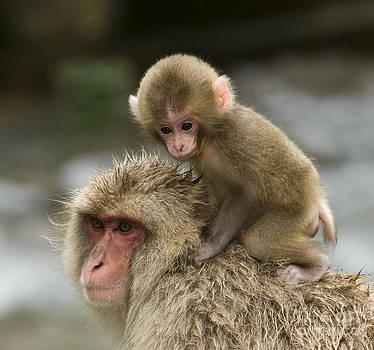 John Shaw - Snow Monkeys Japan