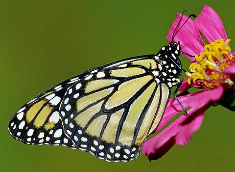 Monarch Butterfly by Millard H. Sharp
