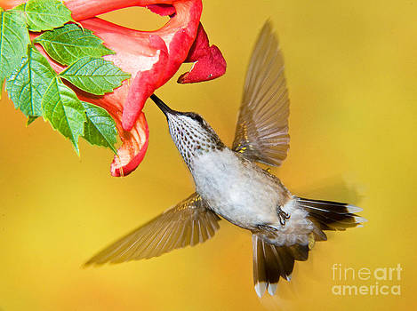 Millard H Sharp - Ruby Throated Hummingbird