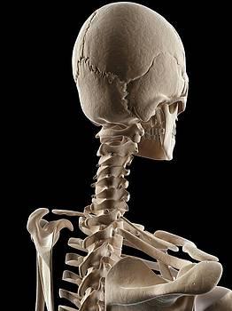 Human Skull And Neck Bones by Sebastian Kaulitzki