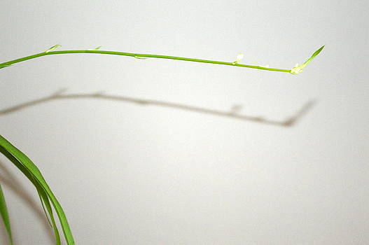 Spider Plant Sprout  by Karla Ricker