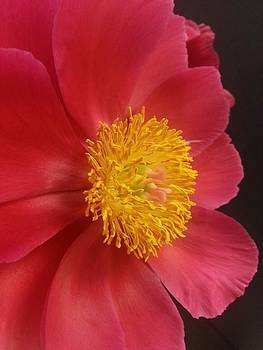 2nd Peony by Heather L Wright