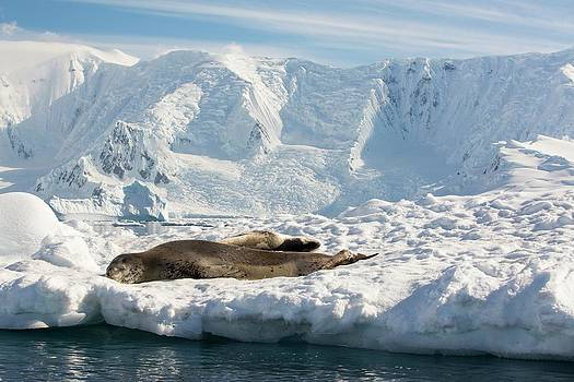 A Leopard Seal by Ashley Cooper