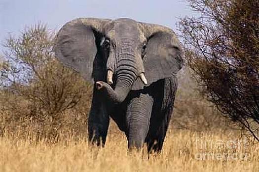 African Elephant by Diane Kurtz