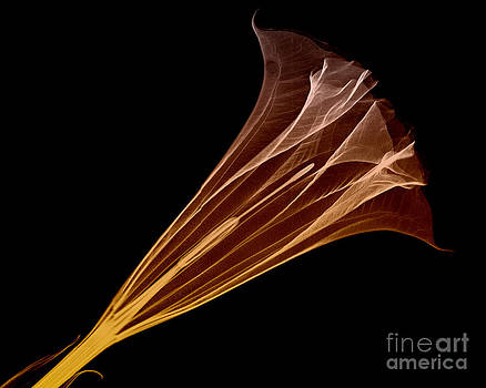 Bert Myers - Angel Trumpet Blossom X-ray