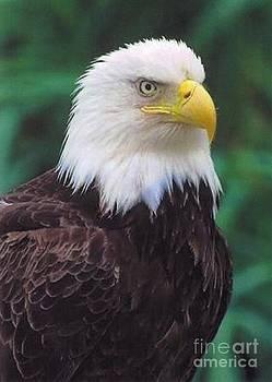Diane Kurtz - Bald Eagle