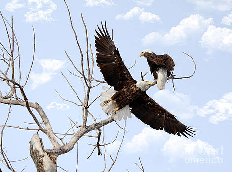 Bald Eagles by Lori Tordsen