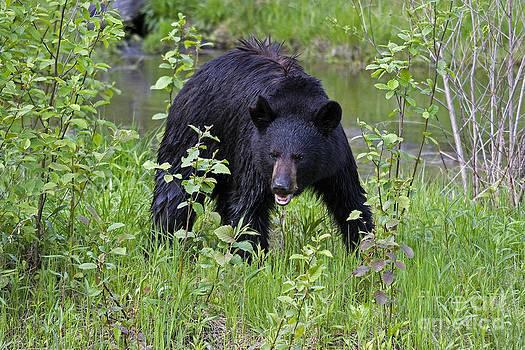 Linda Freshwaters Arndt - Black Bear
