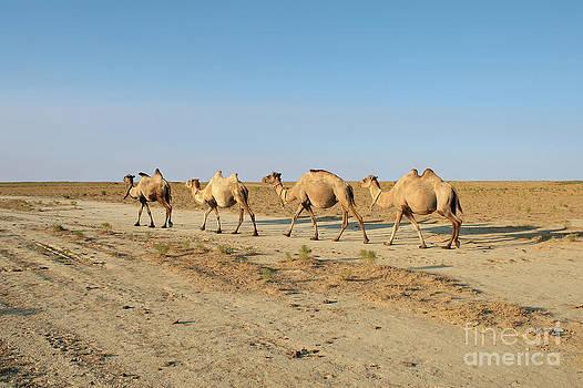 Camel. by Alexandr  Malyshev