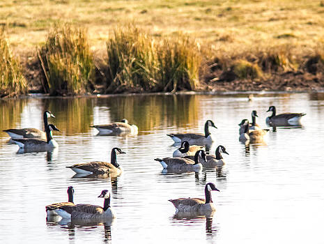 Canada Geese by Brian Williamson