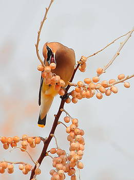 Cedar Wax Wing by Floyd Tillery