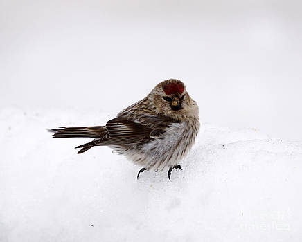 Common redpoll by Lori Tordsen