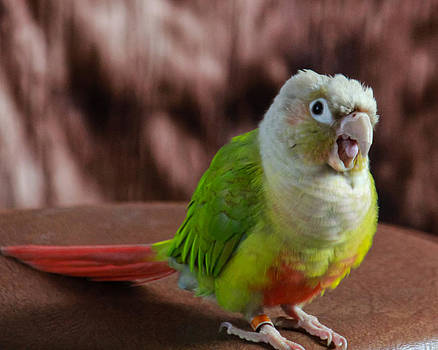 Conure by Kathy Nairn