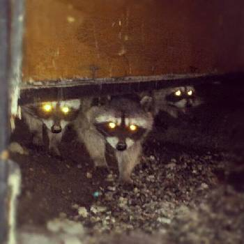 3 Coons #mthigh #racoons #wrightwood by HK Moore