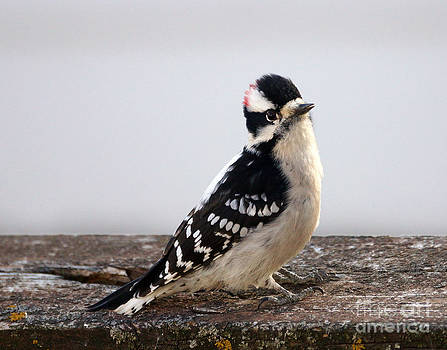 Downy Woodpecker by Lori Tordsen