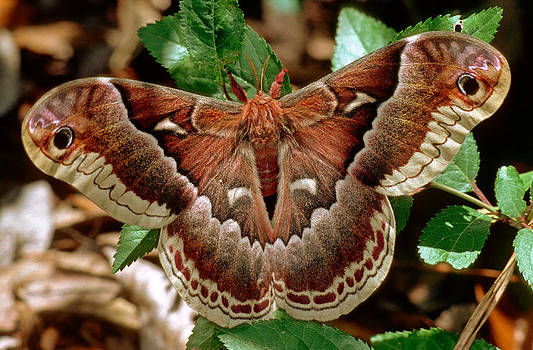 Female Promethea Moth by Millard H. Sharp