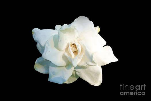 Gardenia by Maria Julia Bastias