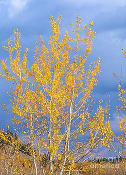 Golden Leaves by Kathleen Struckle