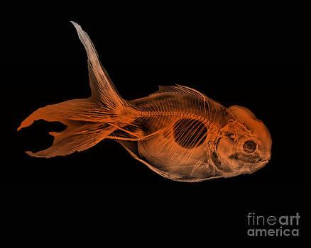 Bert Myers - Goldfish X-ray