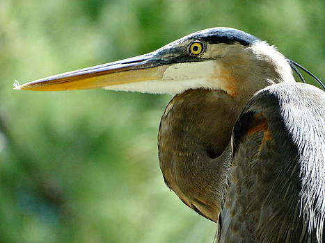 Frederic BONNEAU Photography - Great Blue Heron