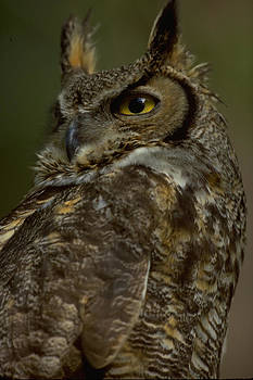 Great Horned Owl by Don Baccus