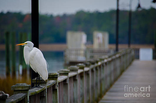Dale Powell - Great White Heron Dockside