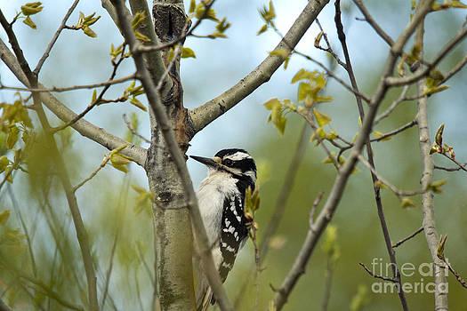 Linda Freshwaters Arndt - Hairy Woodpecker