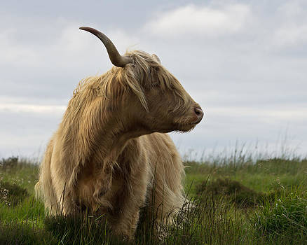 Highland Cow on Exmoor by Pete Hemington