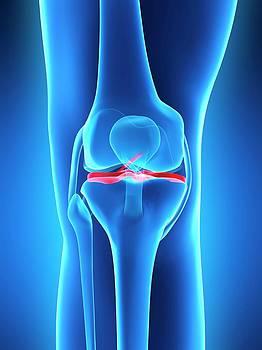 Human Knee Ligaments by Sebastian Kaulitzki