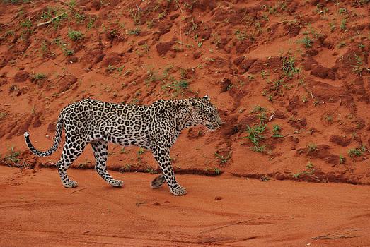Hunting Leopard by Evgeny Lutsko