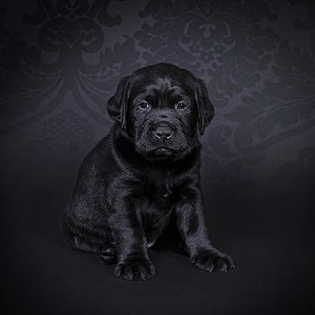 Waldek Dabrowski - Labrador retriever puppy