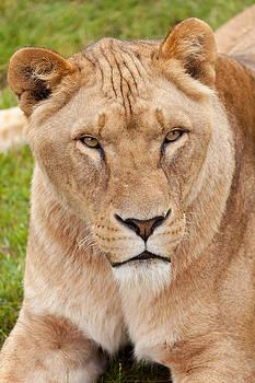 Lioness Looking by Gillian Dernie