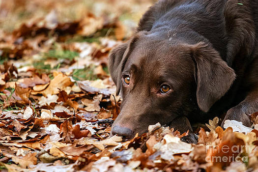 lying brown Labrador Retriever by Doreen Zorn