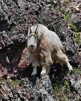 Mountain Goat by Jim Lucas
