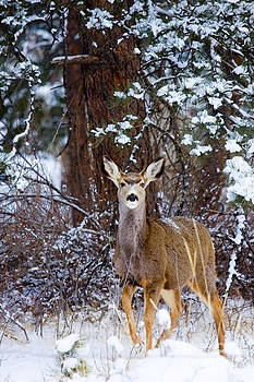 Steve Krull - Mule Deer in Snow